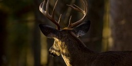 catchmark-wildlife-deer